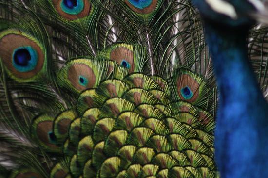 particolare della coda di un pavone - Cuggiono (2098 clic)