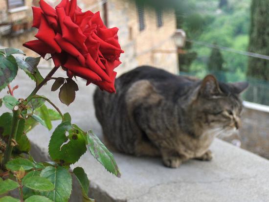 Il gatto e la rosa - San gimignano (1261 clic)