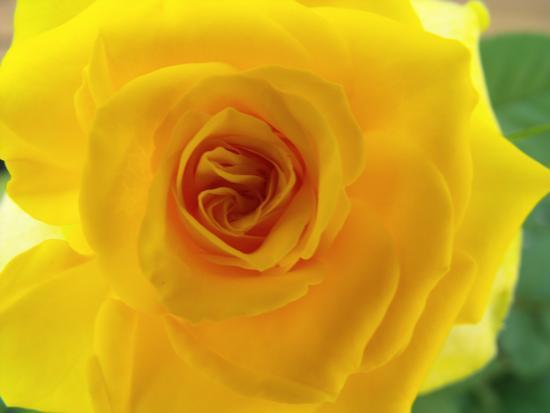 rosa gialla - San nicandro garganico (1229 clic)