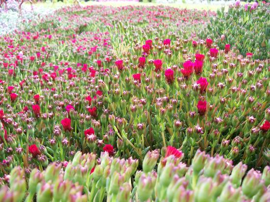 fiori Mostra  - Firenze (837 clic)
