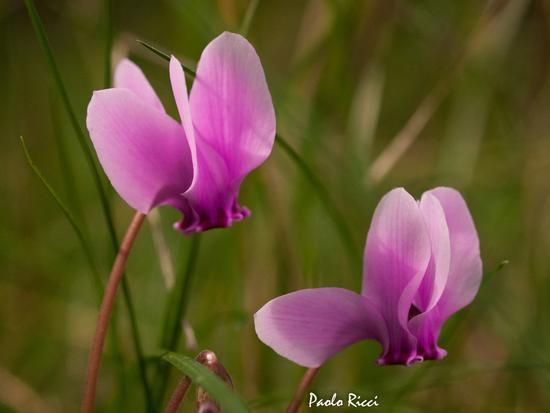 i fiorellini nel bosco - Monteriggioni (2326 clic)