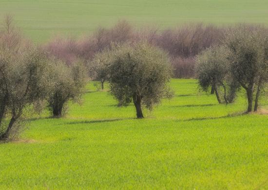La primavera in arrivo tra olivi verdeggianti e grano appena nato. - Asciano (3640 clic)