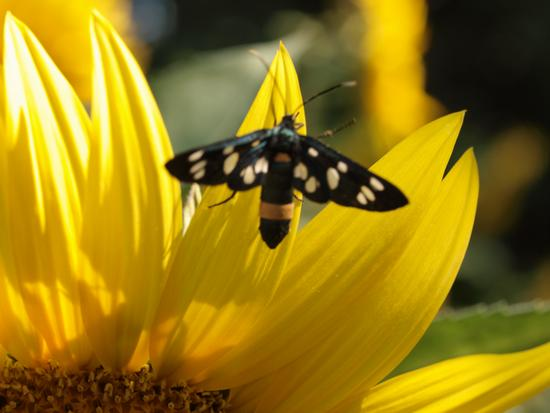Farfalla intorno al girasole - Ponte a bozzone (1872 clic)