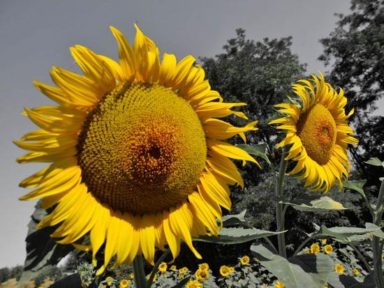 Il giallo dei  girasoli  - Siena (1830 clic)