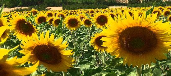 Campo di Girasoli - Siena (3701 clic)