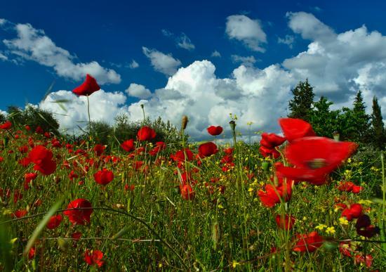 vento sole  e papaveri - Siena (8548 clic)