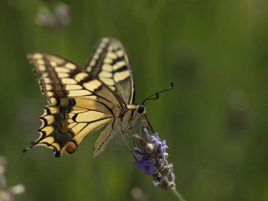 Farfalla  sulla lavanda - Castelnuovo berardenga (4194 clic)
