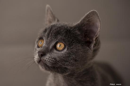 gattino  - SIENA - inserita il 23-Jan-14