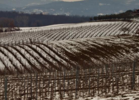 filari tra terra e neve  - Siena (1471 clic)