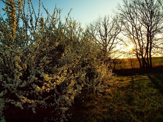 Tramonto in campagna con biancospino in fiore - Siena (1511 clic)