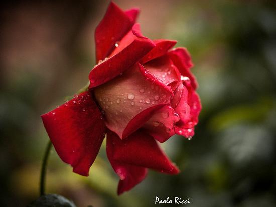 La rosa dopo la pioggia - Siena (2533 clic)