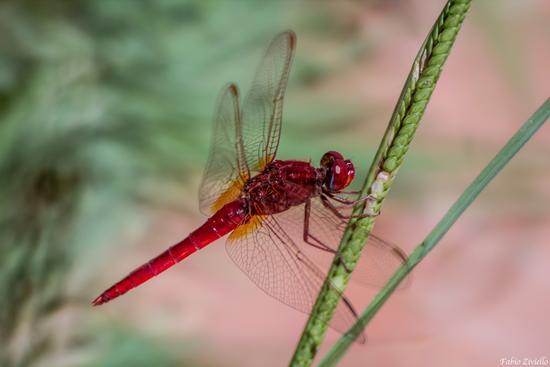 libellula (423 clic)