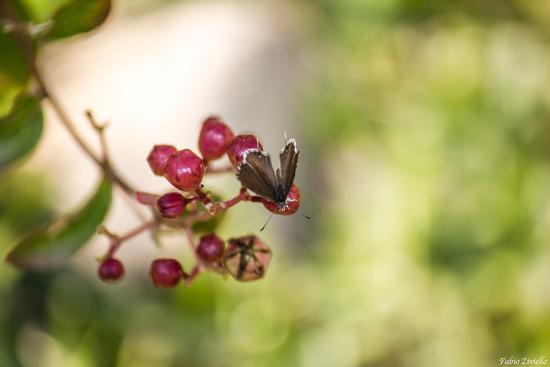 farfalla (376 clic)