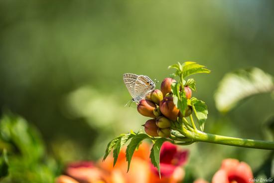 farfalla (404 clic)
