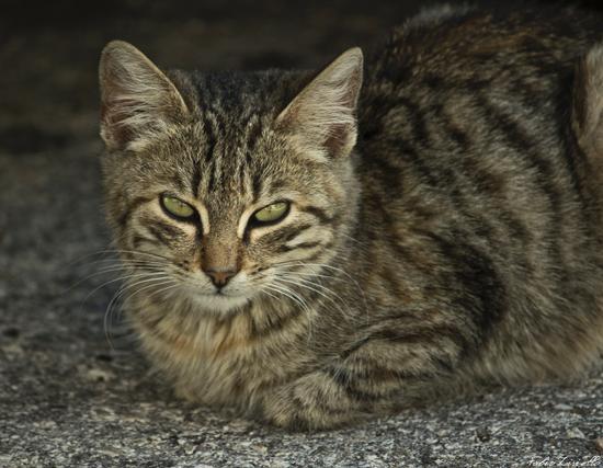 Gatto imperiale - Montella (2243 clic)