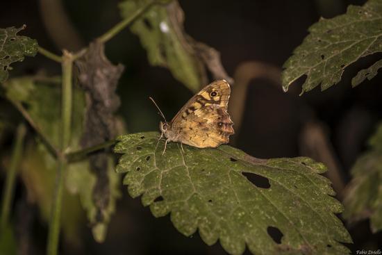 Farfalla (379 clic)