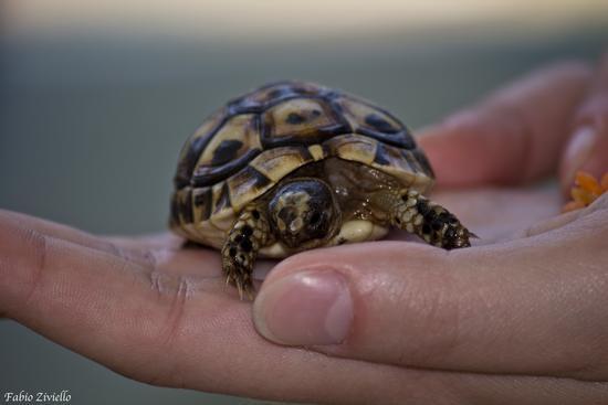Tartaruga di Tunisi nel palmo di una mano (1133 clic)