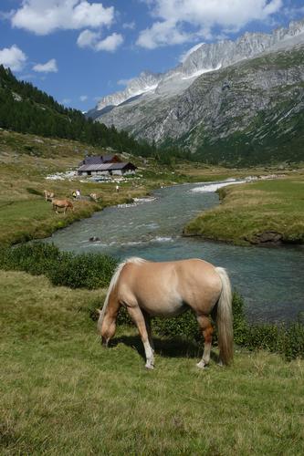 pascolo sul fiume Chiese - Val di fumo (4090 clic)
