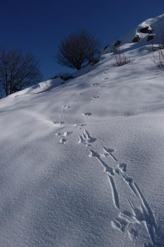 Impronte di lepre nella neve - Lumezzane (1600 clic)