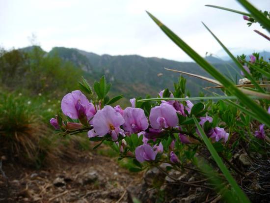 fiore di montagna - Lumezzane (741 clic)