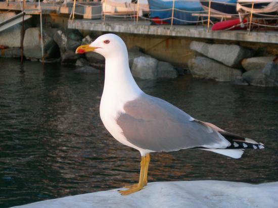 Gabbiano a Camogli (2303 clic)