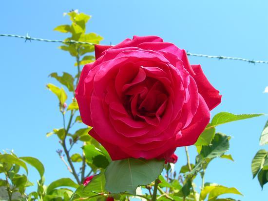 Rosa a Corniglia (2161 clic)