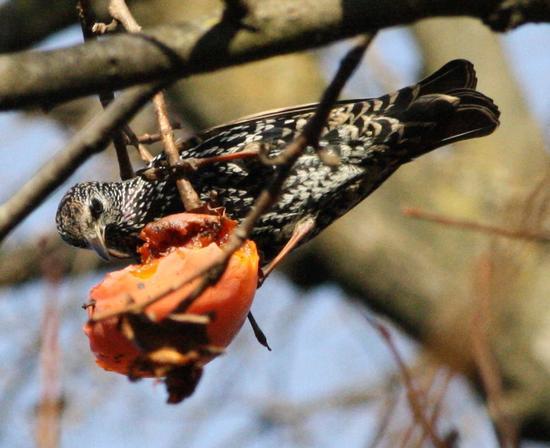 uccello col caco - Trezzo sull'adda (1214 clic)