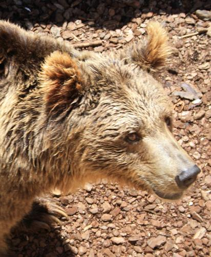 orso bruno - Ponte san pietro (1211 clic)