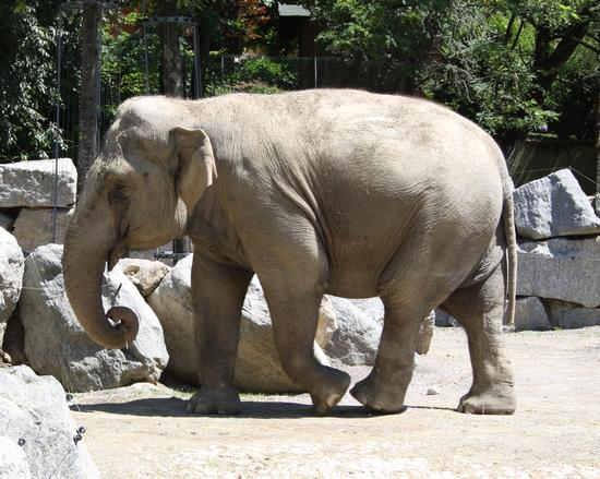 elefante - Ponte san pietro (1473 clic)