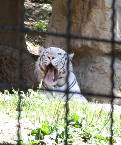 tigre bianca - Ponte san pietro (1557 clic)