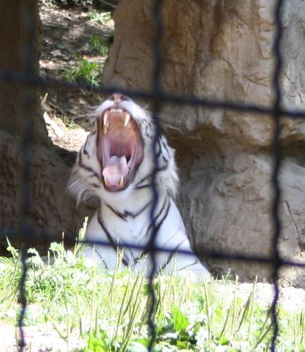 tigre bianca - Ponte san pietro (1053 clic)