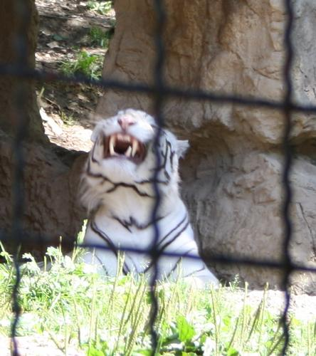 tigre bianca - Ponte san pietro (1312 clic)