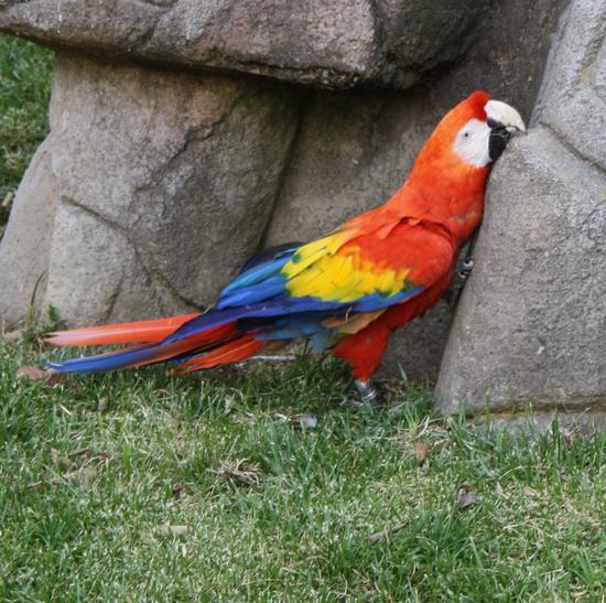 pappagallo, ara - Ponte san pietro (2663 clic)