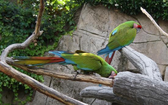 pappagallo, ara - Ponte san pietro (1550 clic)