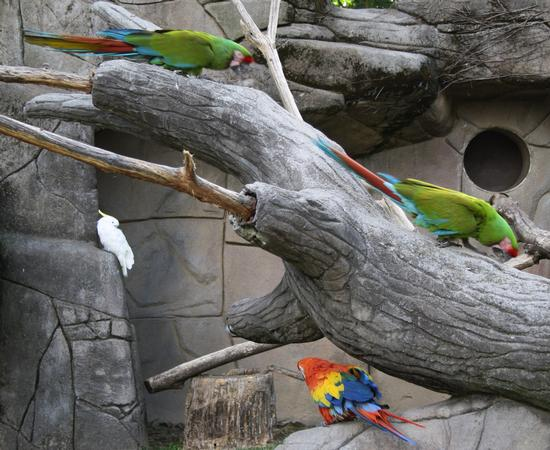pappagallo, ara - Ponte san pietro (1751 clic)