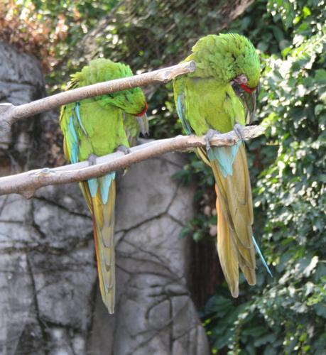 pappagallo, ara - Ponte san pietro (1416 clic)