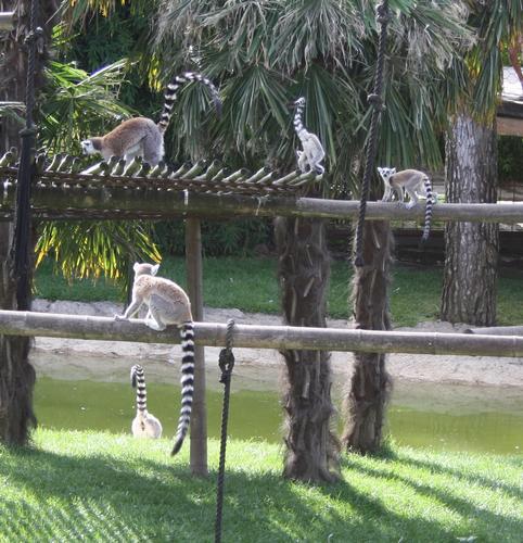 lemuri al gioco - Ponte san pietro (1166 clic)
