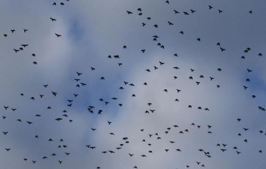 stormo di uccellini - Bolzano (2161 clic)