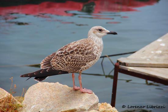 Gabbiano - Golfo aranci (2007 clic)