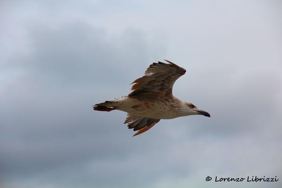 Gabbiano in volo - Olbia (2402 clic)