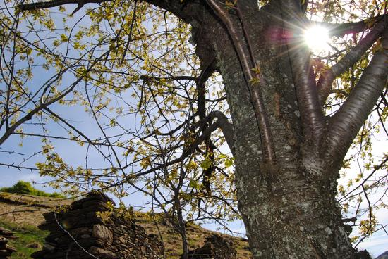 il sole tra i rami - Val d'ossola (1483 clic)