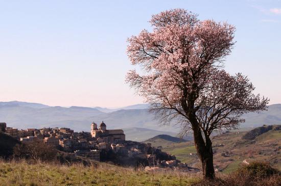 Fiori di Mandorlo a Petralia Sottana (2783 clic)
