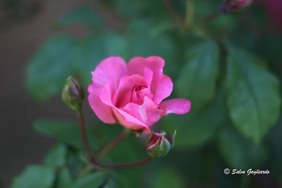 Rosa - Piano zucchi (2472 clic)