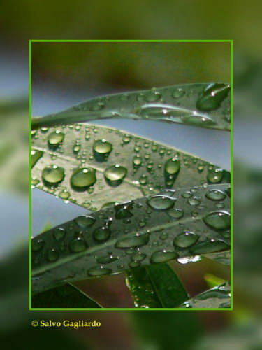 Gocce nel verde - Cefalù (3340 clic)