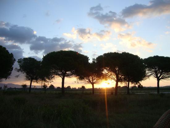 Alba tra i pini marittimi - Cecina (2772 clic)