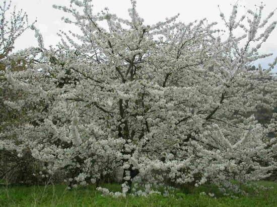 Primavera a Dolceacqua (2738 clic)