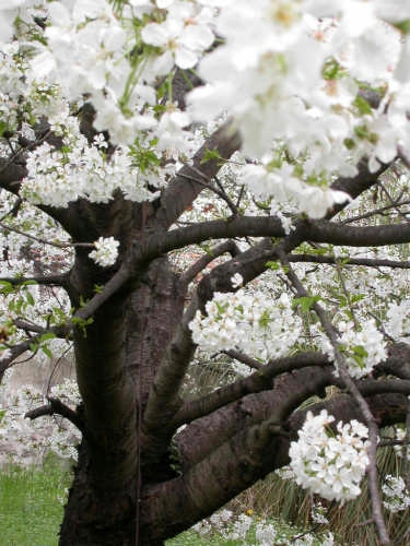 Il ciliegio di Raffaella - Dolceacqua (2573 clic)