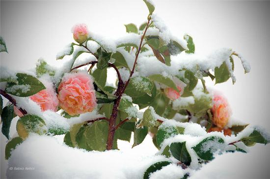 Azalee d'inverno (701 clic)