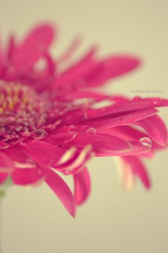 Uno dei miei fiori preferiti ! - San chirico raparo (2667 clic)