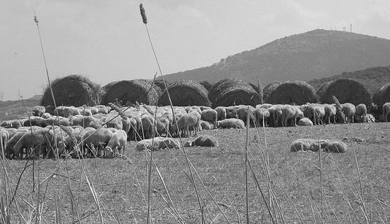 stintino ...pecorelle della nurra (1423 clic)